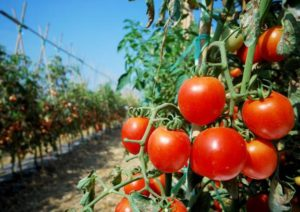 PRODUCTION TECHNOLOGY OF TOMATO UNDER PROTECTIVE HORTICULTURE