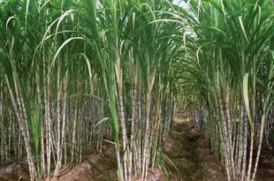 Effect of Nutrition Management, Row Spacing and Earthing Up on Lodging, Cane Yield and Quality of Spring Planted Sugarcane