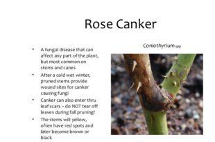 Stem canker of rose
