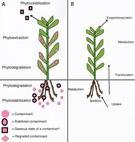 Application And Techniques For Phytoremediation