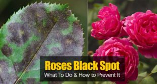 Black spot of rose