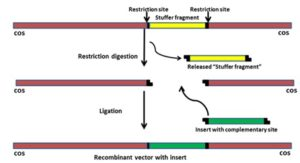 DNA Cloning With Vector