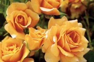 Classification of Roses