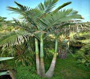 Different Types Of Palms