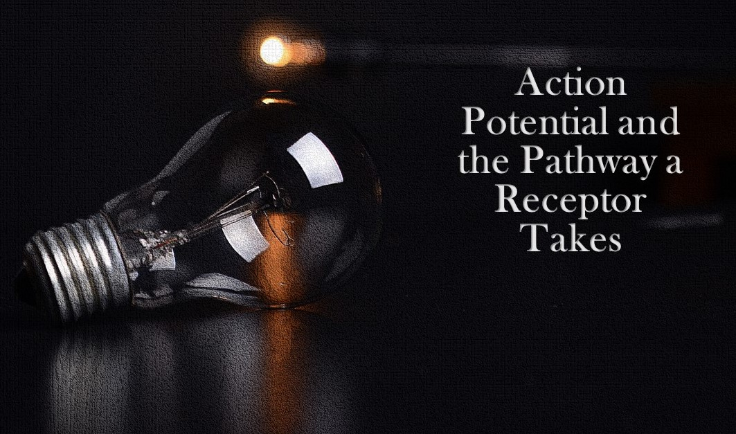 Action Potential and the Pathway a Receptor Takes
