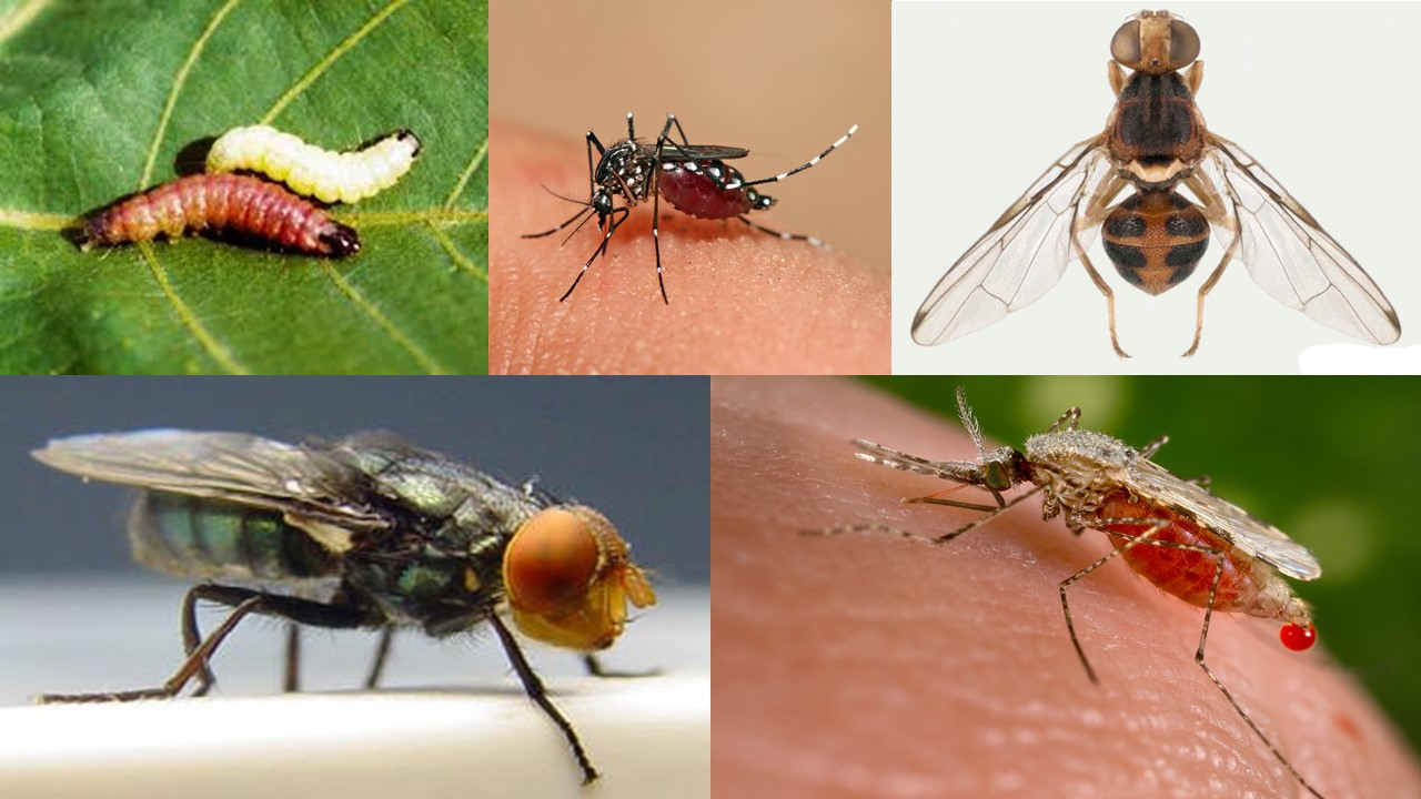 Agricultural Benefits of Genetically Modified Insects