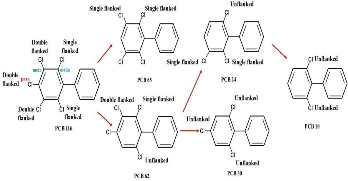 dechlorination pathway of 2,3,4,5,6-Pentachlorobiphenyl